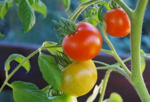 indoor rajčata