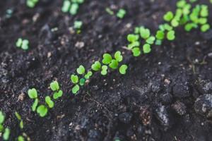 Příprava substrátu na klonování a pěstování