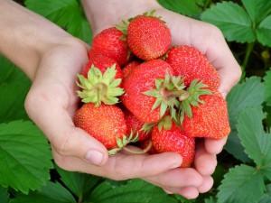Jak doma pěstovat jahody: rodit vám budou celý rok