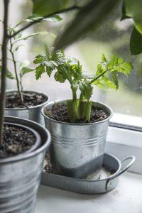 Co o indoor pěstování říká Pieter Klaassen?