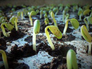 Jak správně sázet naklíčená semena