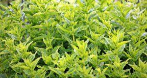 Vlastní bylinky si v létě skvěle vychutnáte