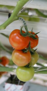 Na pěstování rajčat není nic těžkého.