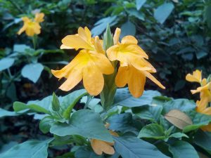 Přelité rostlině mohou žloutnout listy – nezaměňte to s usycháním!