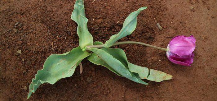 Fusarium: Plíseň, Která Ničí Vaše Rostliny