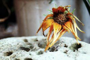 Rostlina po napadení začíná vadnout