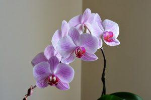 Se správnými substráty budou orchideje ozdobou vaší domácnosti