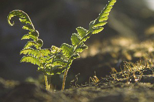 Přidávání křemíku se doporučuje hlavně při pěstování v inertním médiu.