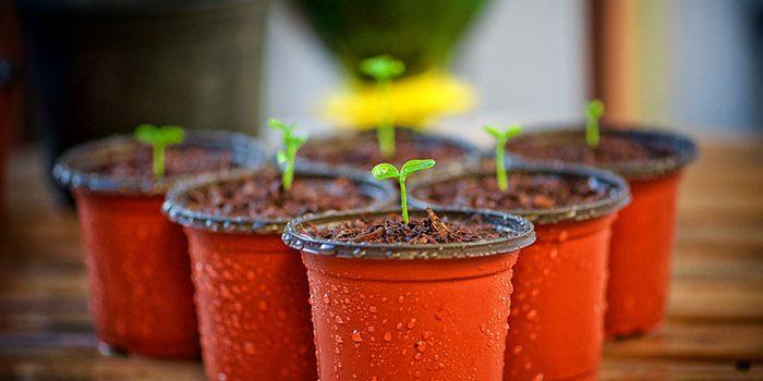 Chilli Začněte Pěstovat Už V únoru.