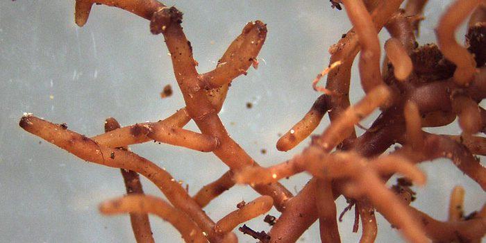 Mykorhiza Prospěje Vašim Rostlinkám, Vyzkoušejte Ji.