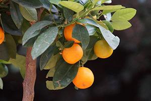 Některým citrusům se ve skleníku daří po celý rok.