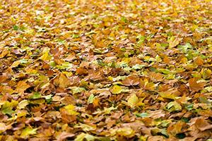 Ze zahrádky také shrabejte listí, aby vám na ní nevznikaly plísně.
