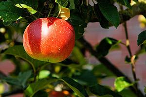 Na podzim můžete vysadit také několik druhů (nejen) ovocných stromů.