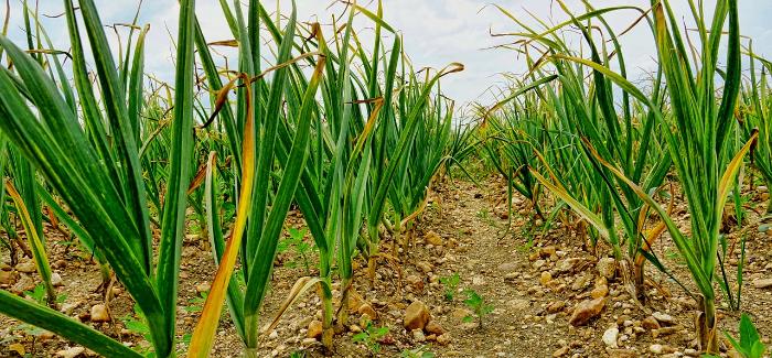5 častých Omylů Při Pěstování česneku – čeho Se Vyvarovat?