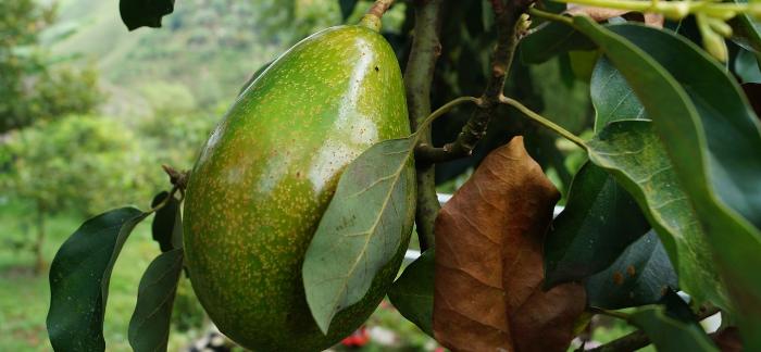 Nevyhazujte Pecku Z Avokáda: Vypěstujte Si Nové Ovoce