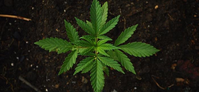 Víme, Jak Na Pěstování Konopí Ze Semínek – Zkuste To U Sebe Doma