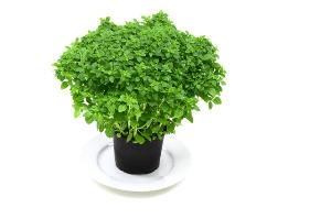 Indoor pěstování bylinek.