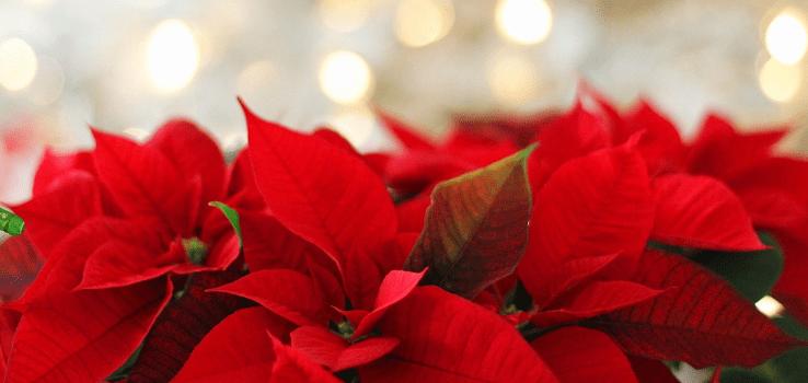 Jak Se Starat O Vánoční Hvězdu, Aby Kvetla I Příští Vánoce?